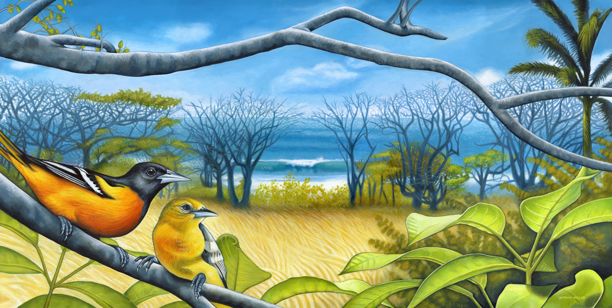 Surf Report - Baltimore Oriole Art by Nathan Miller