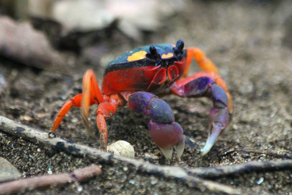 Mouthless Crab